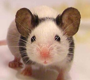 Японские мышки 150 сом в Сокулук