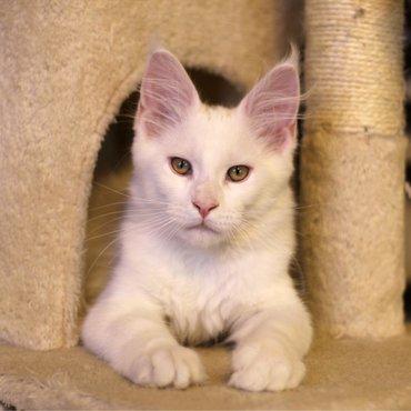 Котята породы Мейн куны.Чистокровные,с хорошей родословнойс
