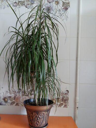 Другие комнатные растения - Кыргызстан: Цветок драцена и замиокулькас