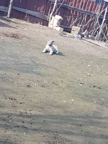 Животные - Саатлы: Saatlir coban itdi qurdbasrdi alamag isdeyen elqa nomrem vacata varam