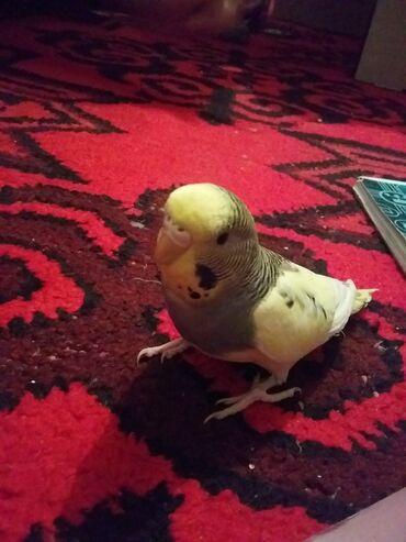 накидка на клетку попугая в Кыргызстан: Срочно продаю красивые волнистые попугайчики девочка и мальчик 1