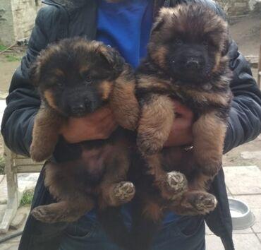 afcarka balalari satilir - Azərbaycan: Продаются щенки длинношёрстной немецкой овчаркиПол - самки (девочки)