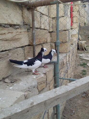 Птицы - Азербайджан: Salam alma kekiller cutu 25 az