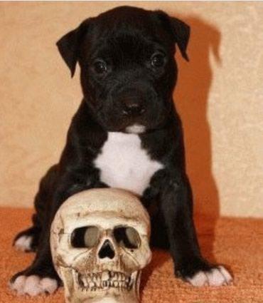 Продаю щенка питбультерьера, питбуль в Кок-Ой