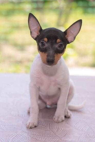 американская в Азербайджан: Американский той-фокстерьер (Toy fox terrier)  Предлагаются щенки амер