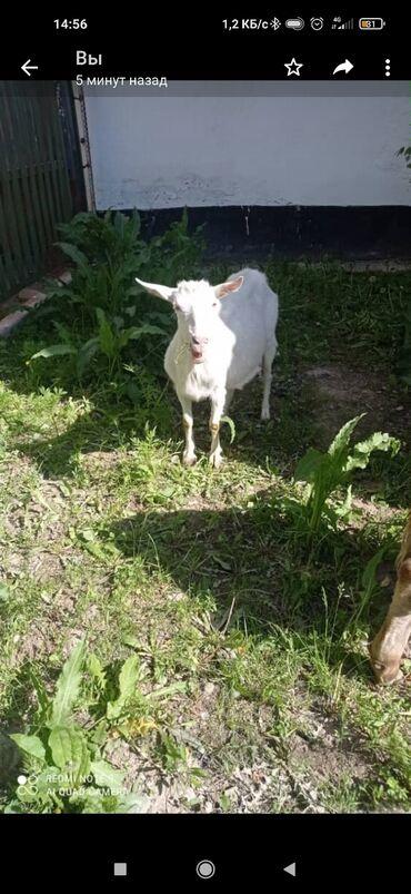 Животные - Таш-Мойнок: Продаю дойную козу с козлятами, двух Козлов