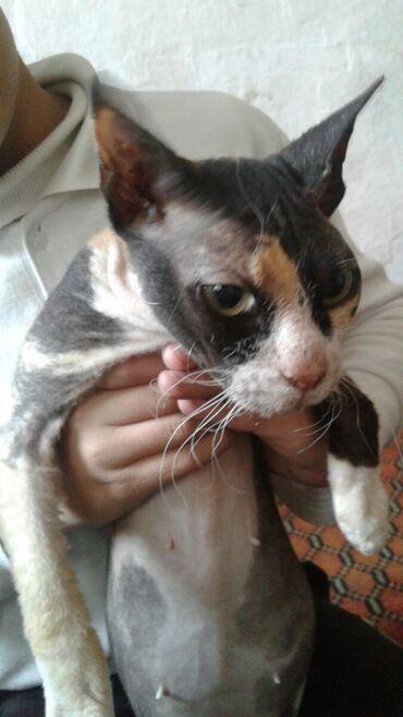 платье летучая мышь для полных в Кыргызстан: Отдам египетскую кошку за два киндера сюрприза