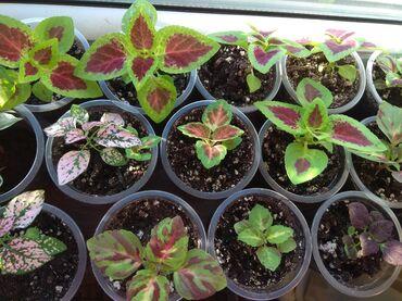 Комнатные растения в Кыргызстан: Распродажа растений  цена за Каждый -50 сом Самовывоз мкр Асанбай