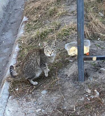Коты - Кыргызстан: Молоденькая кошечка. Очень ласковая. Не царапает. Нуждается в добрых и