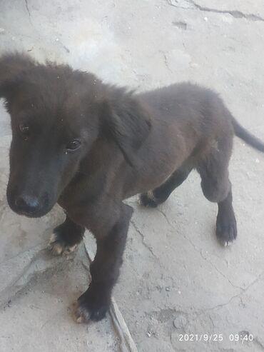 Продаю щенка тайгана.Щенку три месяца