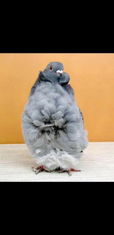Продаю голубей!!! ПОРОДА Чоррера и Чайка