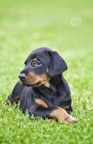 Dobermann štenadFantastično uzgojeni štenci dobermana. kombinacija