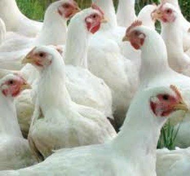 биндеры 160 листов для дома в Кыргызстан: Куры бройлерные мясные . Фермерское хозяйство реализует кур оптом и в