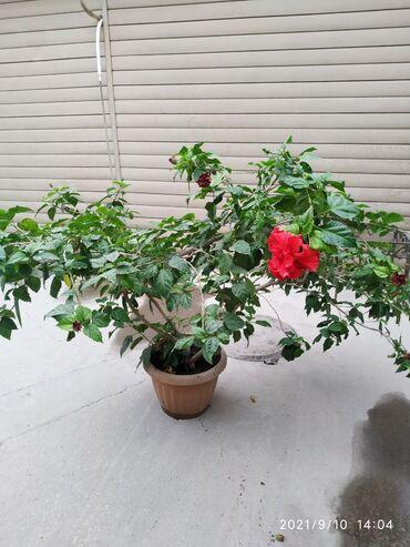 13326 объявлений: Продам недорого китайскую Розу. Очень хорошо цветет