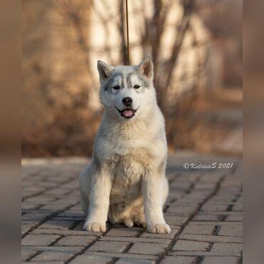 Продаются породные, отлично выращенные щенки Сибирской хаски. Полный