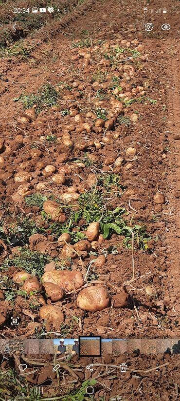 73 объявлений: Картошку продаю срочно Сорт Пикассо13-15тонн и Желе 8 - 10 тонн