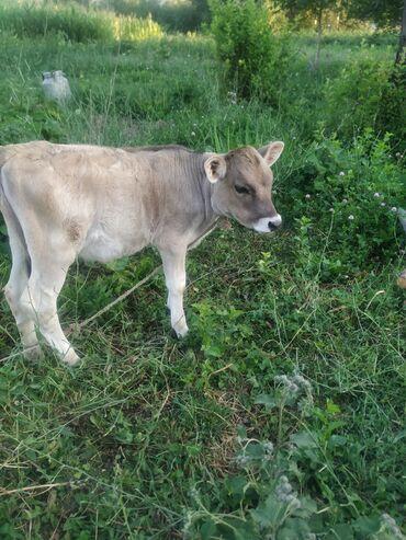 Животные - Чон-Арык: Продаю теленка ( 3 мес )  Цена договорная