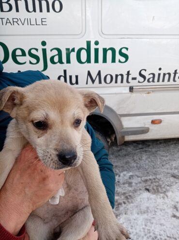 спа для рук в Кыргызстан: Отдам щенков в хорошие руки. Возраст 1,5 месяца. Номер