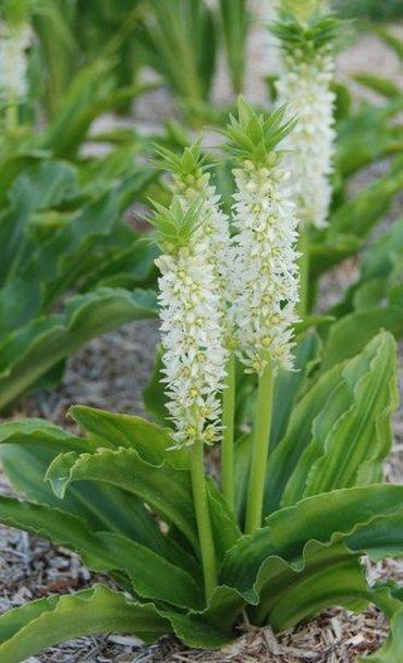 Ананасная лилия или эукомис, летом растёт на грядке, зимой луковицы