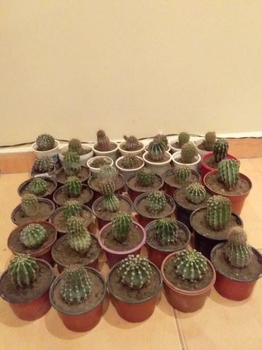 Bakı şəhərində Kaktus biri 2manat