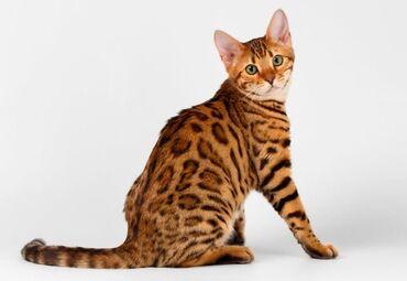 ищу кошку в Кыргызстан: В связи с переездом продаю кошку бенгальской породы 7 мес девочка не