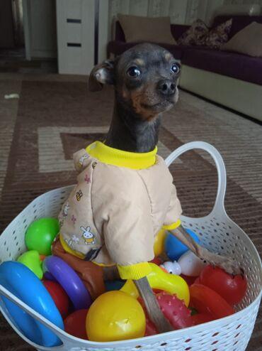 куплю йоркширского терьера в Кыргызстан: Срочно!В ответственные руки,продается собачка,той-терьер,кабель,11