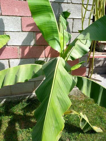 квартира берилет сокулук in Кыргызстан | БАТИРЛЕРДИ УЗАК МӨӨНӨТКӨ ИЖАРАГА БЕРҮҮ: Продаю пальмы банановые. Большие и маленькие