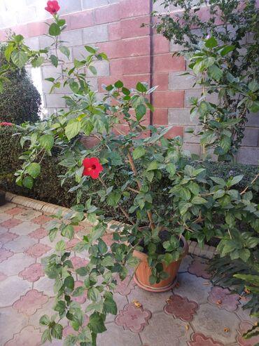 4140 объявлений: Роза комнатная. Высота 1.5 метра