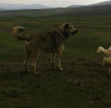 qan lekesi - Azərbaycan: 3 erkey qurdbasar temiz qan