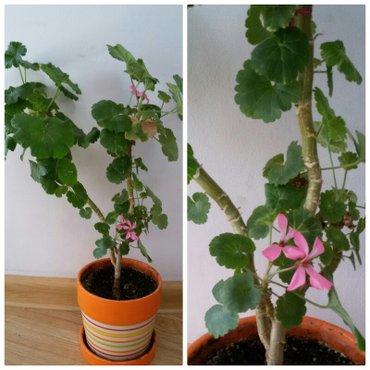 продаю комнатные цветы,  в связи с нехваткой места.  герани по 200с  о в Бишкек