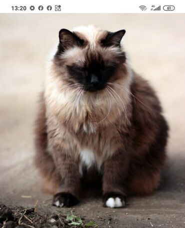 Куплю сиамского котенка