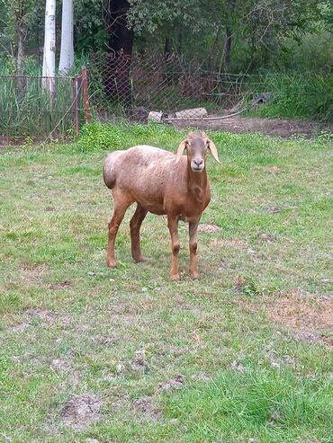 Животные - Гавриловка: Бараны, овцы