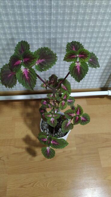 Otaq bitkiləri - Azərbaycan: Ucreng