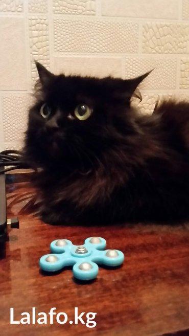 отдам взрослую кошку в добрые руки. воспитанная. ходит в лоток. чистая в Бишкек