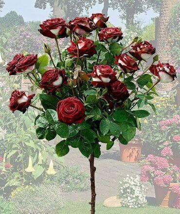 Всё для дома и сада - Кыргызстан: Представляем вашему вниманию саженцы штамбовых роз(есть на выбор с бут