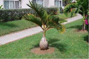 Semena   Srbija: Semenke palme Cena:500din/5kom