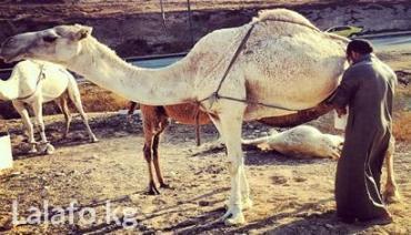 Лечебный тур в Египет парным верблюжьим молоком и мочой в Бишкек