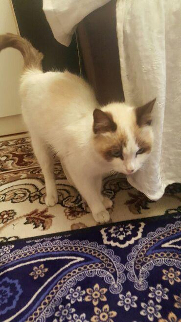 ищу кошку в Кыргызстан: Продам кошку. 2 годика. Цена договорная