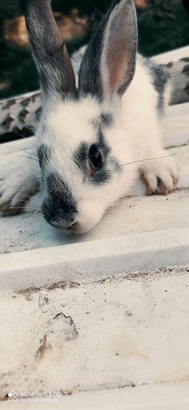 Животные - Пульгон: Продаётся кролики по 300 сом