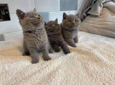 Γκρίζα βρετανικά γατάκια shorthair. Τα γατάκια μας ζουν στο σπίτι μας