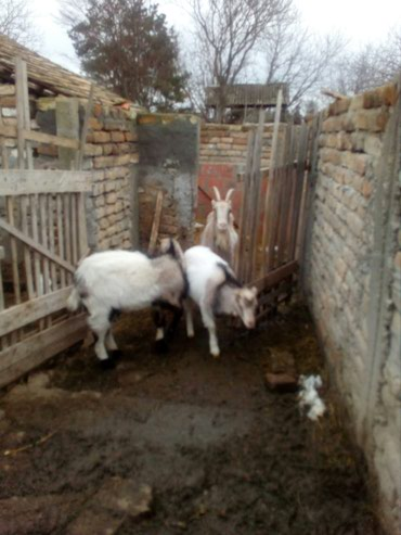 Prodajem dva jareta mlada oko 25 kg ,moze I koza - Novi Banovci