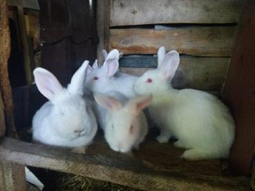 шуба кроликовая в Кыргызстан: Продаю кроликов на племя 3 основные породы:Новозеландский белый;серый