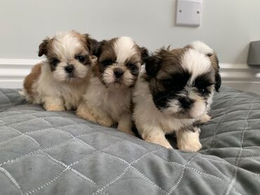 Shih Tzu κουτάβια προς πώληση Cute Shih tzu Αρσενικά και θηλυκά