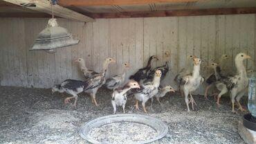 Животные - Милянфан: Цыплята Дакан ( шамо ) . Почти два месяца. Пропоены