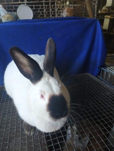 Крольчата 1,5 месяца. породы Калифорния.и самку продам. в Кок-Ой