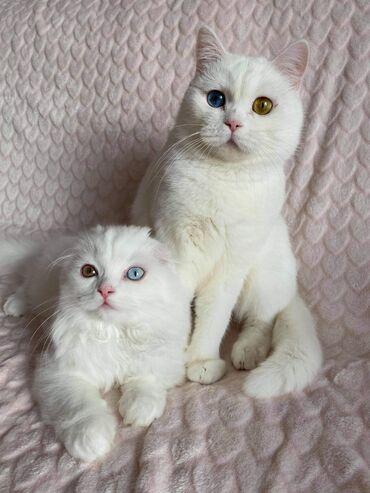 Πανέμορφο γατάκι Σκωτίας Fold Shorthair προς πώλησηViber . Viber
