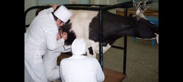 Услуги ветеринара - Кыргызстан: Ассалам алейкум'ветеринар на вызов .Кансультация бар .Кара малбото