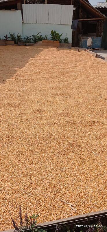 25 объявлений | ЖИВОТНЫЕ: Жүгөрү мака кукуруза оптом пионер урук 10тоннага чейин МАКА КУКУРУЗА