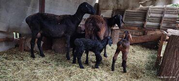 работа за городом с проживанием in Кыргызстан   ПОВАРА: Срочно ищем семью, для ухода за садом и скотом. Сад и хозяйство