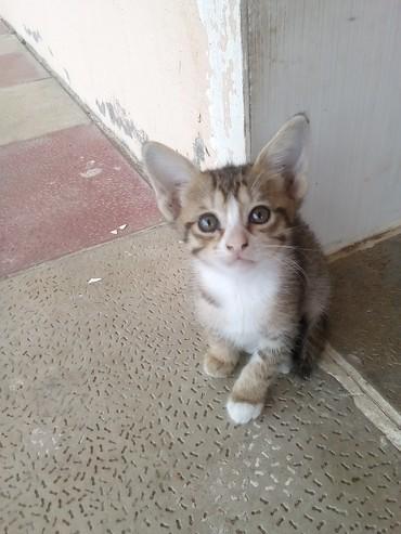 Bakı şəhərində БЕСПЛАТНО! 2 чудесных котенка,